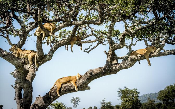 Lõvid pärast söömingut puhkamas, arhiivifoto.