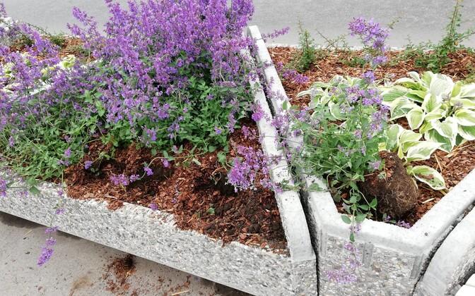 Põhja-Tallinnas on lillekonteinerid pidevalt vandaalide ohvriks langenud.