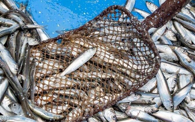 Tore traditsioon on avatud kalasadamate päev, sest see on reaalne samm Eesti merele avamise ja kalasöömisharjumuse edendamise suunas. Foto on tehtud Võiste kalasadamas.