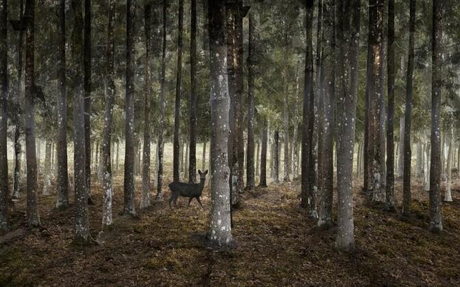 Kaarduvas sihis istutatud metsas on uued vaated ja kummalised perspektiivid. Selles metsas on hoopis teistmoodi võimalik eksida ja ekselda, sest mets võib hakata inimest juhtima ja suunama.