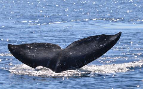 Hallvaalu tänapäeval enam Atlandi ookeanis ei ela.