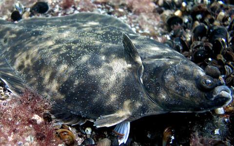 Läänemere lest (Platichthys solemdali)-