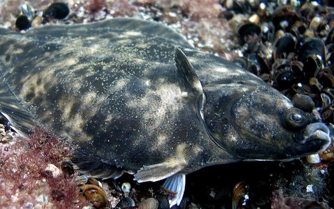 Baltic flounder.