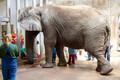 Tallinna loomaaias opereeriti elevant Carli
