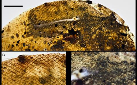 A) Vaigutükiosa, milles on näha maonahk (u 5mm). B) ja C) Suurendatud osad naha erinevatest osadest (u 1mm)