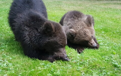 The two bear cubs which have appeared in a Saaremaa backyard.
