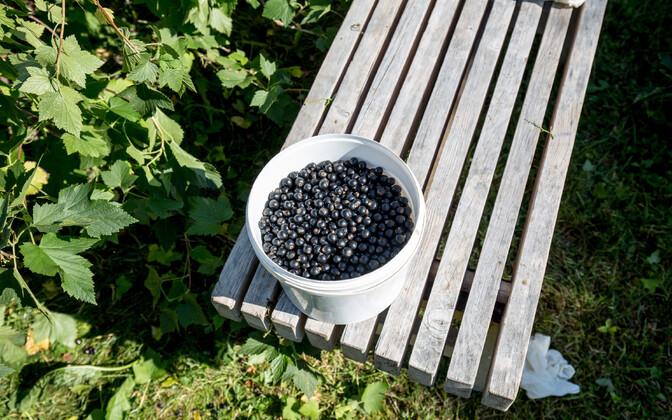 В этом году в Эстонии очень большой урожай черной смородины.