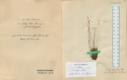 Harjaka tahuksambla eksemplar Tartu Ülikooli loodusmuuseumi kogus.