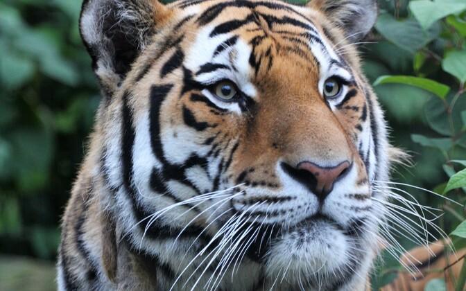 Amuuri tiiger Pootsman sündis 2011. aastal Moskvas
