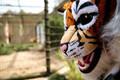 День тигра в Таллиннском зоопарке.