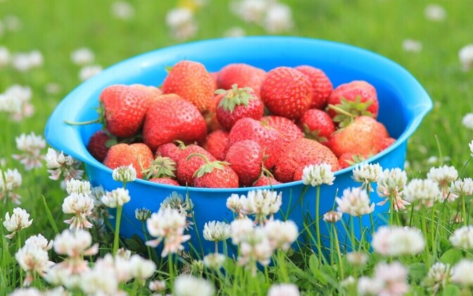 This year's strawberry season has exceeded last year's in parts of South Estonia, but not been as good in the north of the country.
