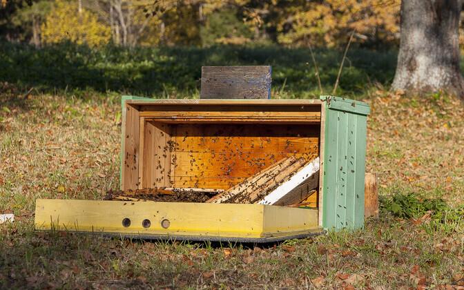 Tänavu Tartumaal karule huvi pakkunud mesilastaru