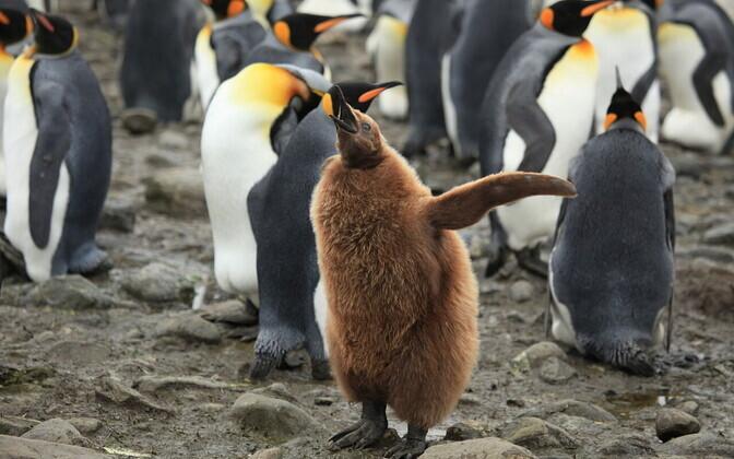 Île aux Cochons'i saarel elab kuningpingviine oluliselt vähem kui 30 aasta eest.