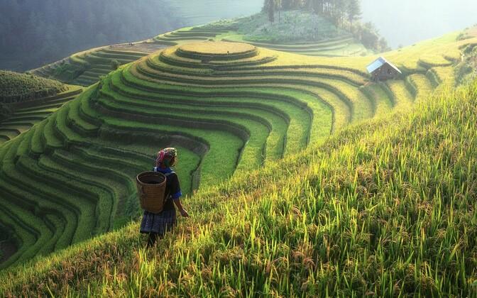 Рисовые поля. Иллюстративное фото.