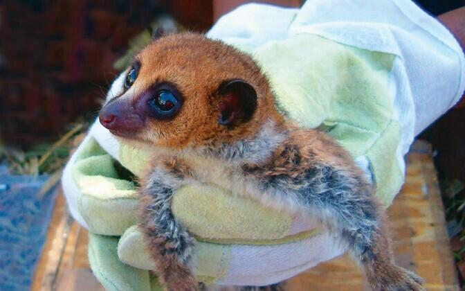 Madagaskaril elav kääbusleemur Cheirogaleus lavasoensis.