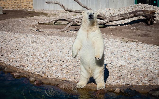 Jääkarupoeg Aron sai jahutava kingituse.