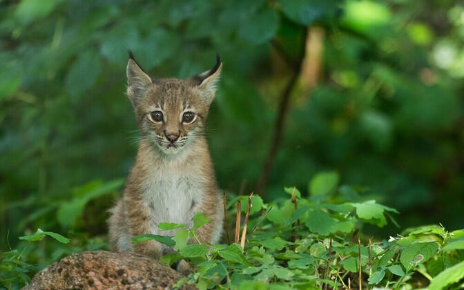 Elistvere loomapargis sündisid ilvesekutsikad.