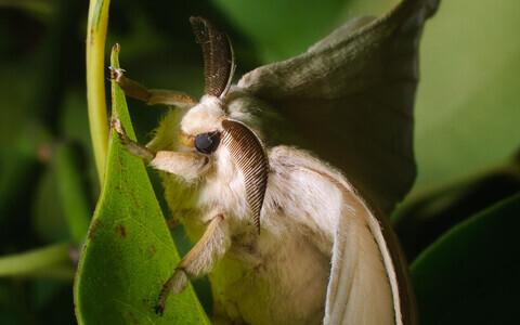 Siidiuss Bombyx mandarina.