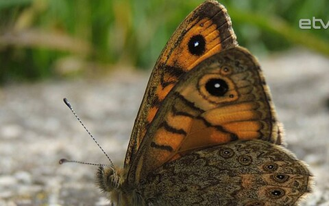 Ученые обнаружили новый для Эстонии вид бабочки.