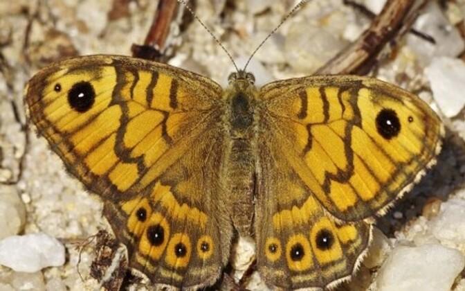 Wall Brown butterfly (lasiommata megera) species.