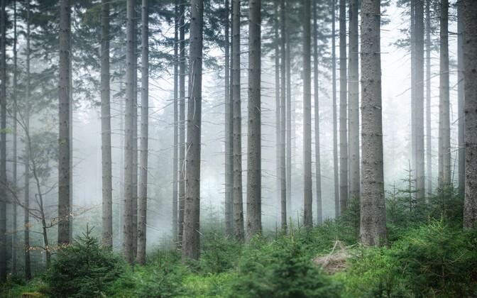 Kuusikud ja okasmetsad hakkavad kliimamuutuste mõjul kaduma.