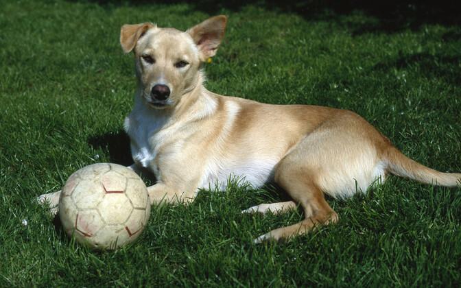 Koer jalgpalliga