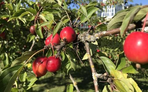Õunapuu Tallinna botaanikaaias