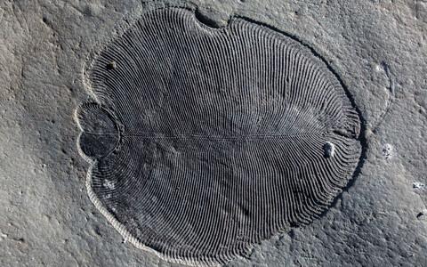 Dickinsonia läbimõõt ulatub sõltuvalt fossiilist paarist millimeetrist enam kui meetrini.