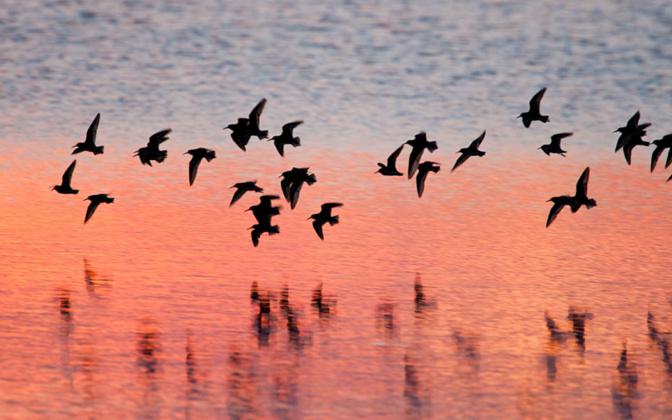 Uuringu järgi hälbivad optimaalsest rändeteest mitmed kahlajad, sealhulgas rüdid