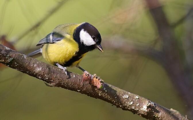 Rasvatihased eelistavad toituda rohelistest röövikutest, kuid nende puudumisel söövad nad ka pruune röövikuid.