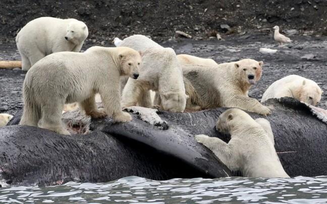 Vaalakorjust söövad jääkarud.