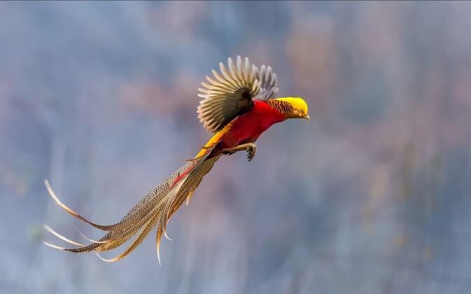 Kuldfaasani looduslik levila asub Hiinas, kuid atraktiivse jahilinnuna on liiki sisse talutud ka Euroopasse.