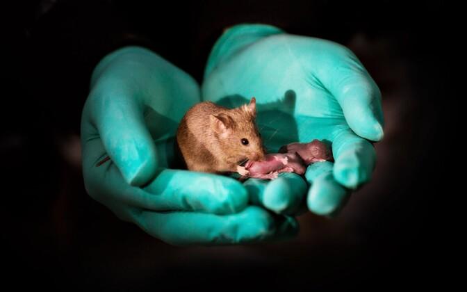 Hiireema sugeb kahe ema DNA-ga hiirepoega.