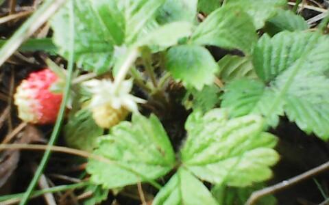 Metsmaasikad oktoobris