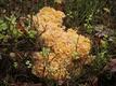 Спарассис курчавый. Растет всего в 10-15 различных местах в Эстонии. Фото сделано в Паралепа