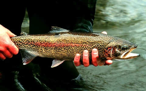 An adult rainbow trout of the sort PRfoods would like to farm off Hiiumaa.