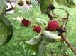 Кусты малины в октябре в Ярваском уезде.