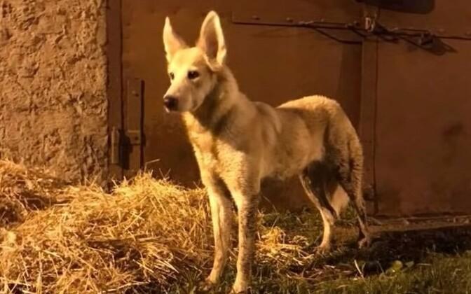 В Синимяэ выбросили на улицу собаку.
