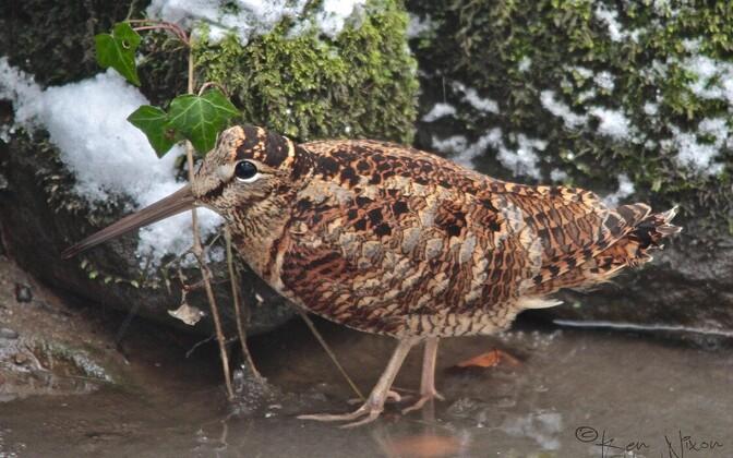 Talvel suudab metskurvits toituda kuni maapind külmub.