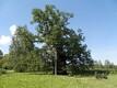 Läti sinine veis; Kaive 1000-aastane esivanemate tamm. Tuhandeaastane esivanemate tamm on eemalt vaadates pigem tagasihoidlik, kuid tema kõrval seistes tunned suurt aupaklikust. Läti sinist veist polegi nii lihtne kohata. Igal pool teda pole. Kuramaal sin