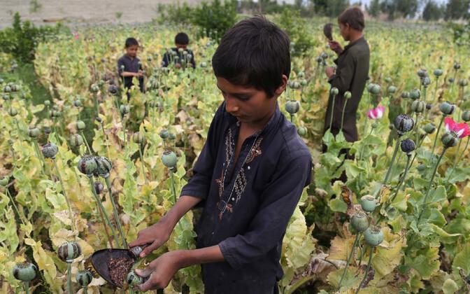 Lapsed oopiumipõllul töötamas, Afganistan 2018. aasta aprill.