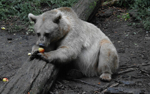 Медведь поедает в садах опавшие яблоки. Иллюстративная фотография.