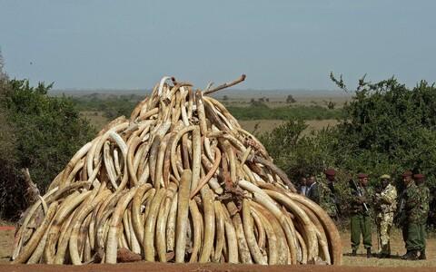 15 tonni konfiskeeritud elevandiluud Nairobi rahvuspargis Keenias.