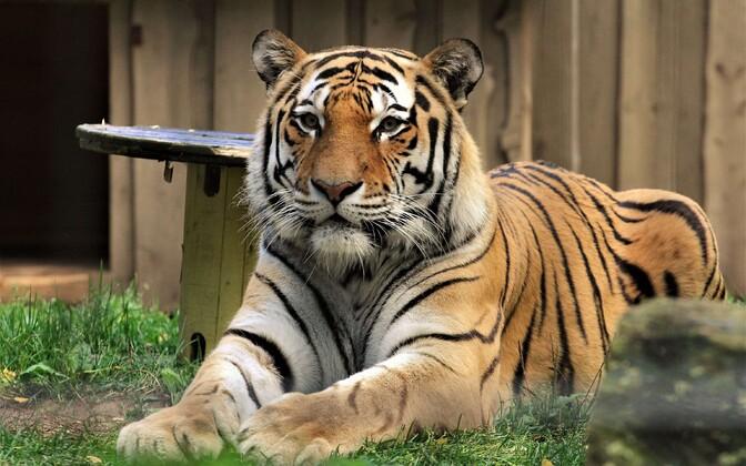 Тигр Боцман.