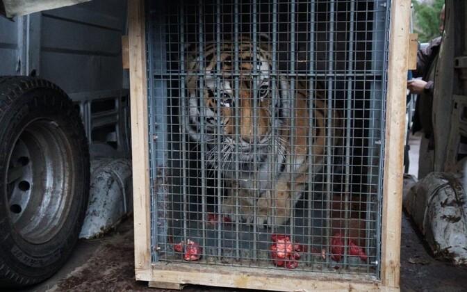 Tiiger Pootsman alustas sõitu Tšehhi loomaaeda