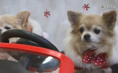 Chihuahua Sõprade Liidu jõulupidu.