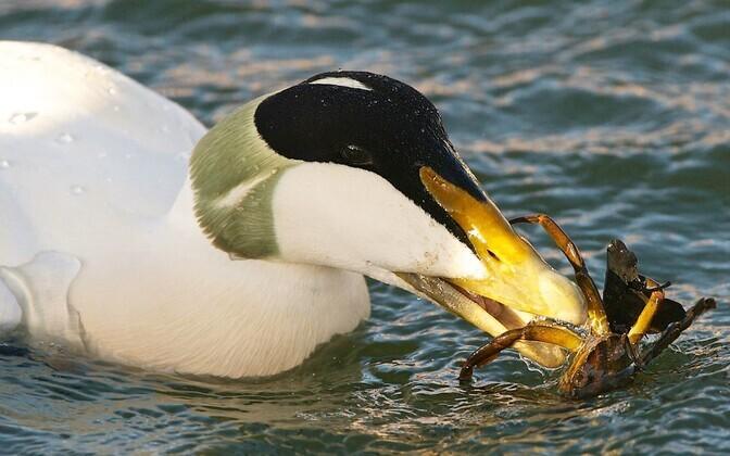 Hahad toituvad rannikumeres molluskitest, kuid ei ütle ära ka suuremast saagist.