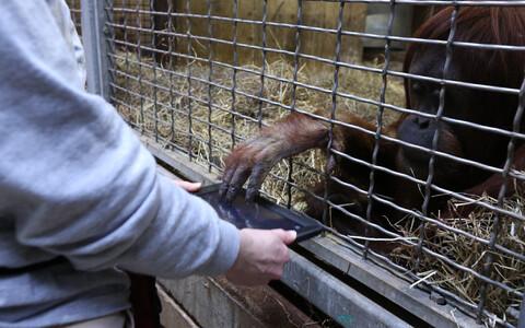 Tuntud Smithsoniani rahvuslikus loomaaias tutvustatakse orangutangidele nende elu mitmekesistamiseks nutiseadmeid.