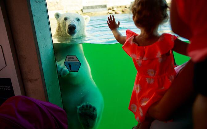 Белый медведь освоился в новом бассейне в Таллиннском зоопарке.