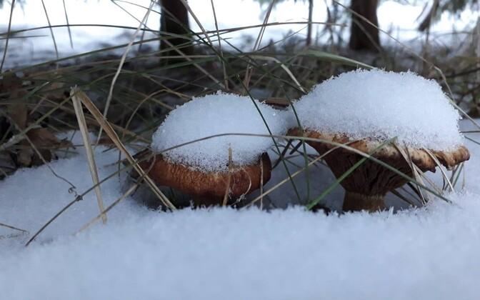 Грибы в зимнем лесу.